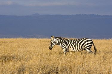 Burchell's Zebra (Equus burchellii) walking through grassland, Lewa Wildlife Conservancy, Kenya  -  Suzi Eszterhas