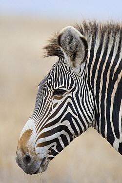 Grevy's Zebra (Equus grevyi) stallion, Lewa Wildlife Conservancy, Kenya  -  Suzi Eszterhas