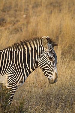 Grevy's Zebra (Equus grevyi), Lewa Wildlife Conservancy, Kenya  -  Suzi Eszterhas