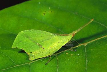 Grasshopper (Systella dusmeti) camouflaged as leaf, Kinabalu National Park, Sabah, Borneo, Malaysia  -  Thomas Marent