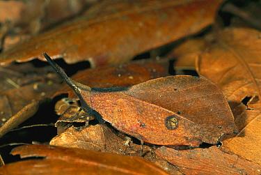 Grasshopper (Systella dusmeti) camouflaged as dead leaves, Kinabalu National Park, Sabah, Borneo, Malaysia  -  Thomas Marent