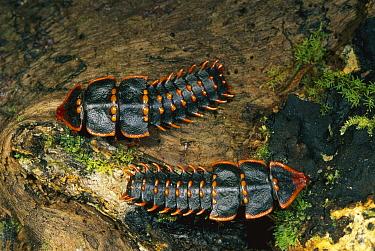 Net-winged Beetle (Duliticola sp) females, Kinabalu National Park, Sabah, Borneo, Malaysia  -  Thomas Marent