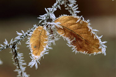 European Beech (Fagus sylvatica) leaves with frost, Switzerland  -  Thomas Marent