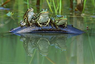 Edible Frog (Rana esculenta) trio on log in pond, Switzerland  -  Thomas Marent