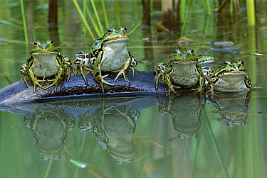 Edible Frog (Rana esculenta) group on log in pond, Switzerland  -  Thomas Marent