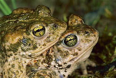 Natterjack Toad (Epidalea calamita) pair mating, Switzerland  -  Thomas Marent