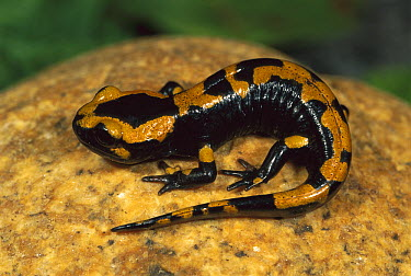Fire Salamander (Salamandra salamandra) on rock, Switzerland  -  Thomas Marent