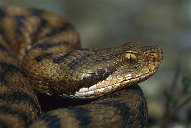 European Asp (Vipera aspis) head, Switzerland  -  Thomas Marent