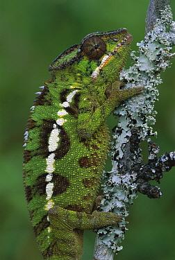 Panther Chameleon (Chamaeleo pardalis) female, Madagascar  -  Thomas Marent