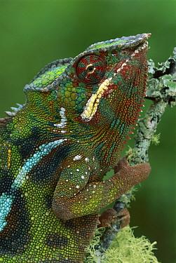 Panther Chameleon (Chamaeleo pardalis) male, Andasibe, Madagascar  -  Thomas Marent