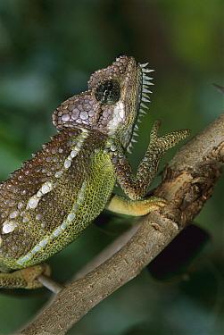 Von Hohnel's Chameleon (Chamaeleo hoehnelii), Mount Kenya National Park, Kenya  -  Thomas Marent