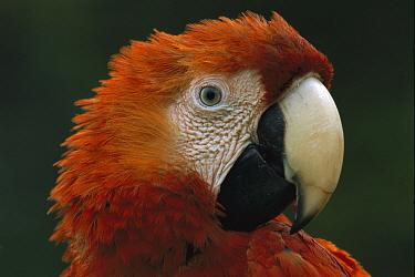 Scarlet Macaw (Ara macao) portrait, Tambopata-Candamo Nature Reserve, Peru  -  Thomas Marent