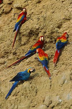 Scarlet Macaw (Ara macao) group and Blue and Yellow Macaw (Ara ararauna) feeding on minerals at clay lick, Tambopata-Candamo Nature Reserve, Peru  -  Thomas Marent
