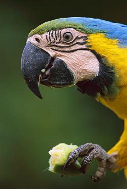 Blue and Yellow Macaw (Ara ararauna) eating, Tambopata-Candamo Nature Reserve, Peru  -  Thomas Marent