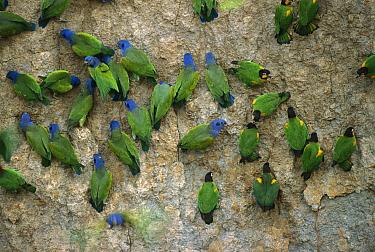 Blue-headed Parrot (Pionus menstruus) flock and Orange-cheeked Parrots (Pionopsitta barrabandi) feeding on minerals at clay lick, Madre de Dios River, Peru  -  Thomas Marent