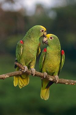 Yellow-crowned Parrot (Amazona ochrocephala) pair, Venezuela  -  Thomas Marent