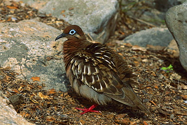 Galapagos Dove (Zenaida galapagoensis) with puffed up feathers, Galapagos Islands, Ecuador  -  Thomas Marent