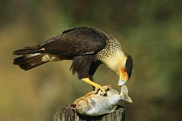 Crested Caracara (Caracara cheriway) feeding on scavenged fish, Venezuela  -  Thomas Marent