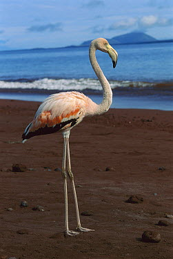 Greater Flamingo (Phoenicopterus ruber) on beach, Galapagos Islands, Ecuador  -  Thomas Marent