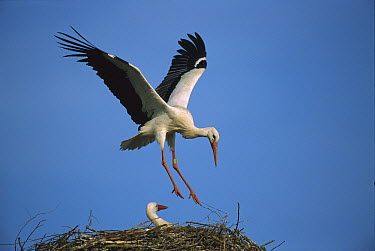 White Stork (Ciconia ciconia) adult landing in nest with chick, Switzerland  -  Thomas Marent