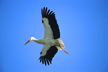 White Stork (Ciconia ciconia) flying, Switzerland  -  Thomas Marent