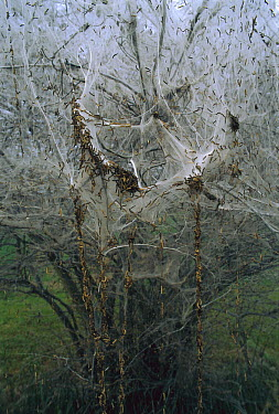 European Spindle (Euonymus europaeus) tree covered by communal web of Spindle Ermine (Yponomeuta cagnagella) caterpillars, Switzerland  -  Thomas Marent