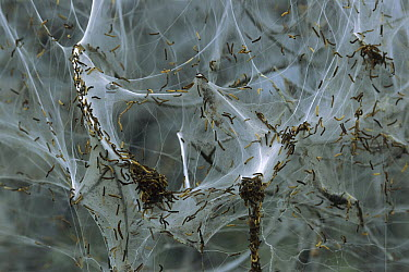 Spindle Ermine (Yponomeuta cagnagella) caterpillars in communal web which covers European Spindle (Euonymus europaeus) tree, Switzerland  -  Thomas Marent