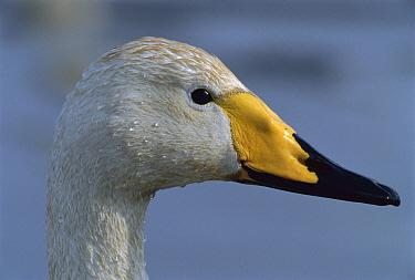 Whooper Swan (Cygnus cygnus) portrait, Switzerland  -  Thomas Marent