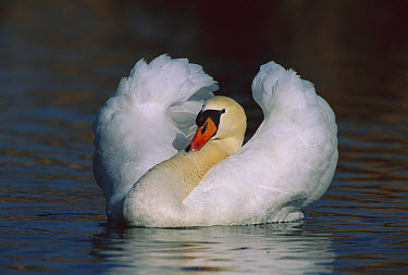 Mute Swan (Cygnus olor) male threat displaying, Switzerland  -  Thomas Marent