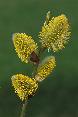 Goat Willow (Salix caprea) male flowers, Switzerland  -  Thomas Marent