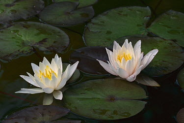 White Water Lily (Nymphaea alba) flowers, Switzerland  -  Thomas Marent