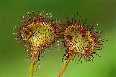 Common Sundew (Drosera rotundifolia), Switzerland  -  Thomas Marent