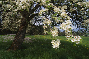 Wild Pear (Pyrus pyraster) tree flowering, Switzerland  -  Thomas Marent