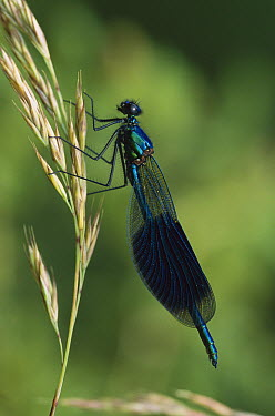 Banded Demoiselle (Calopteryx splendens) male, Switzerland  -  Thomas Marent