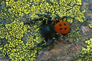 Ladybird Spider (Eresus cinnaberinus) male, Switzerland  -  Thomas Marent