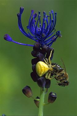 Yellow Crab Spider (Thomisus onustus) catching bee, Switzerland  -  Thomas Marent