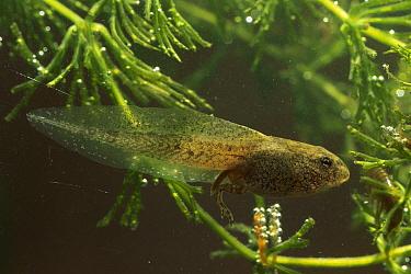 Common Frog (Rana temporaria) tadpole, Switzerland  -  Thomas Marent