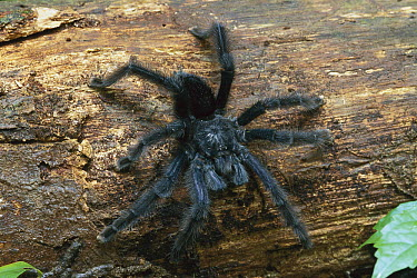 Tarantula (Theraphosidae) crawling down log, Manu National Park, Peru  -  Thomas Marent