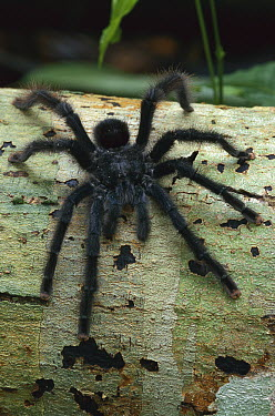 Tarantula (Theraphosidae) crawling on log, Manu National Park, Peru  -  Thomas Marent