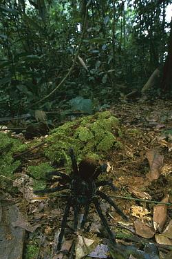 Tarantula (Theraphosidae) crawling on forest floor, Manu National Park, Peru  -  Thomas Marent