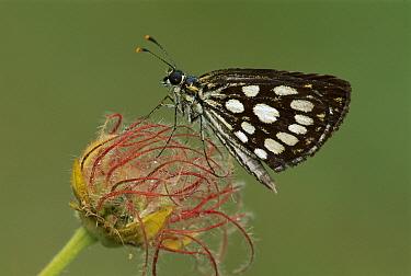 Large Chequered Skipper (Heteropterus morpheus) butterfly, Switzerland  -  Thomas Marent