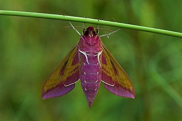 Elephant Hawk Moth (Deilephila elpenor), Switzerland  -  Thomas Marent