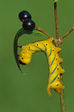 Death's Head Hawk Moth (Acherontia atropos) caterpillar eating leaf, Switzerland  -  Thomas Marent