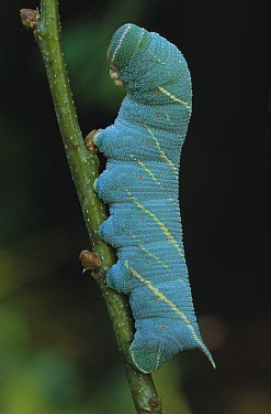 Poplar Hawk Moth (Laothoe populi) caterpillar, Switzerland  -  Thomas Marent