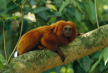 Golden Lion Tamarin (Leontopithecus rosalia), Poco Das Antas Reserve, Brazil  -  Thomas Marent