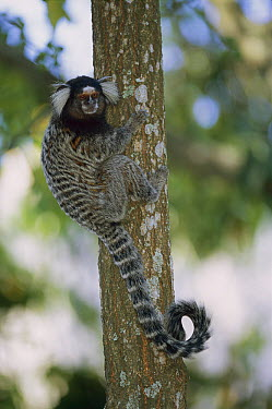 Common Marmoset (Callithrix jacchus) on tree trunk, Brazil  -  Thomas Marent