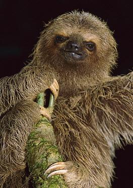 Brown-throated Three-toed Sloth (Bradypus variegatus), Gorgona Island, Colombia  -  Thomas Marent