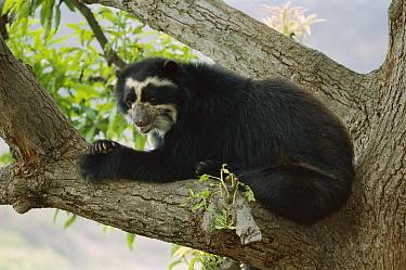 Spectacled Bear (Tremarctos ornatus) in tree, Peru  -  Thomas Marent