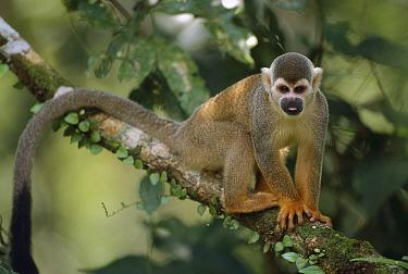 South American Squirrel Monkey (Saimiri sciureus) portrait, Amacayacu National Park, Colombia  -  Thomas Marent