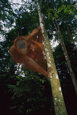Sumatran Orangutan (Pongo abelii) mother and baby, Gunung Leuser National Park, Sumatra, Indonesia  -  Thomas Marent